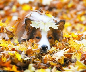 dog, autumn, and border collie image