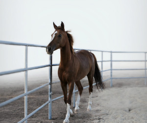 chestnut, horse, and photography image