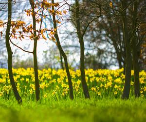 bulbs, daffodils, and depth of field image