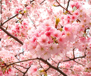 flowers, sakura, and pink image