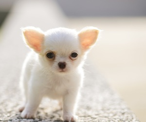puppy, chihuahua, and cute animals image