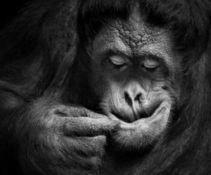 animal, black and white, and monkey image