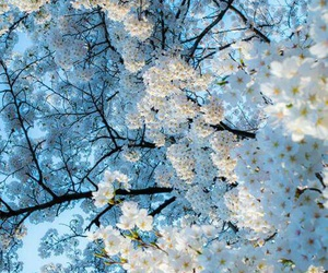 flowers, white, and tree image