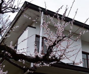 beautiful, cherry blossoms, and pink image