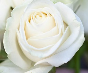 nature, rose, and white rose image