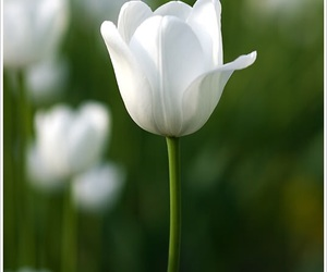 flower, white, and spring image