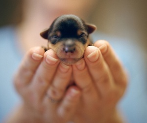 adorable, little, and puppy image