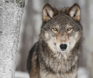 wolf and grey image