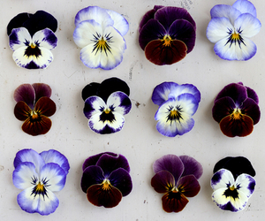 blue, pansies, and purple image