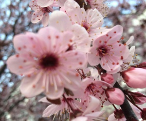 blossoms, pink, and spring image