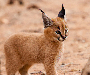 south africa, kruger national park, and caracal kitten image