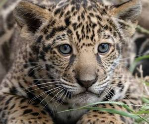 adorable, aww, and leopard image