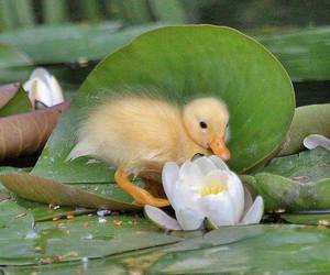 animals and duck image