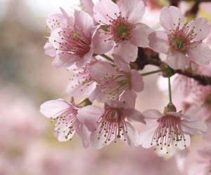 cherry blossoms, flowers, and spring image