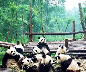 panda, animal, and nature image