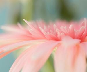 gerbera and pink image