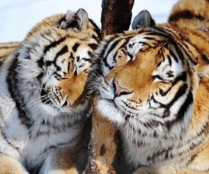 animals, snow, and tiger image