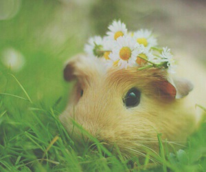 flowers and guinea pig image
