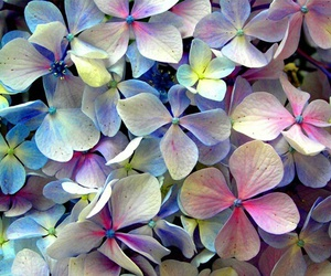 flower and hortensia image