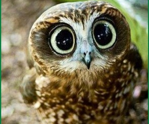 owl, animal, and eyes image