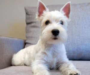 Terrier, west highland white terrier, and white dog image
