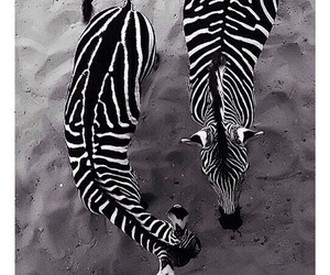 animal, zebra, and black and white image
