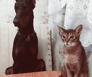 doberman, dog, and dogs image