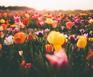 beauty, flower, and tulip image