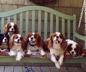 dog and cavalier king charles spaniel image