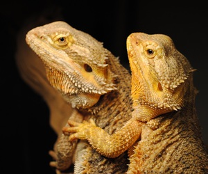 animals, dragon, and beardie image