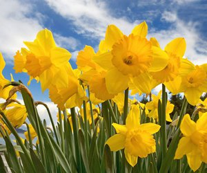 daffodils and flowers image