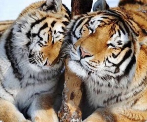 tiger, snow, and tigers image
