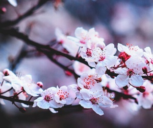 flowers, nature, and pink image