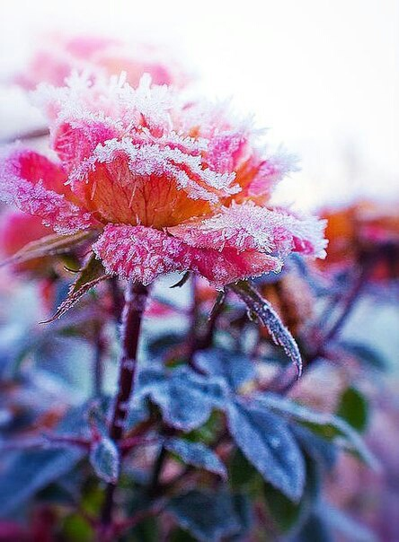 cold, winter, and frozen rose image