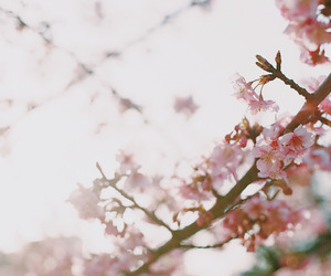 cherry blossoms, nature, and photograph image