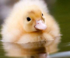 duck and animal image