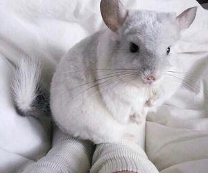 animal, Chinchilla, and white image