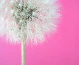 pink, flowers, and dandelion image