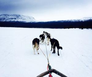 beautiful, huskies, and likes image