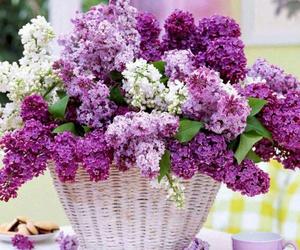 flowers, purple, and syringa image