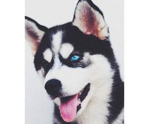 dog, beautiful, and husky image