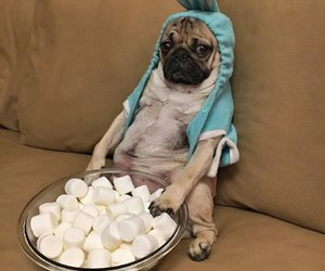dog, pug, and marshmallow image