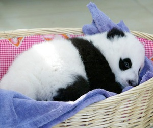 cute, panda, and animal image