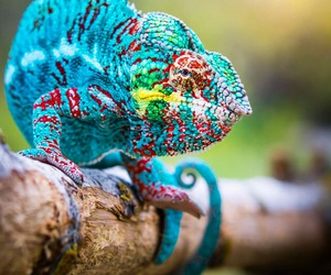 animal, chameleon, and reptile image