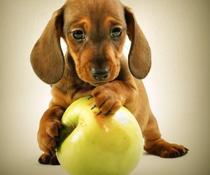 dog, cute, and apple image