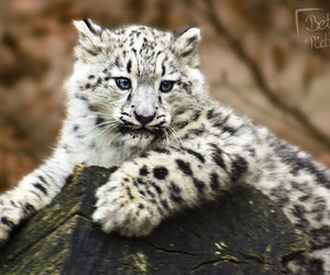 bigcat, animalphotography, and cute image