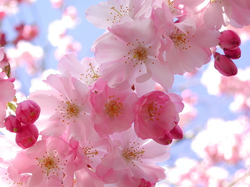 Spring flowers pink pretty 1 picture and photo imagesize 163 kilobyte mightylinksfo