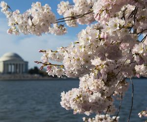 cherry blossoms, life, and spring image