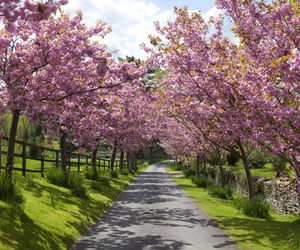 cherry blossoms, life, and road image