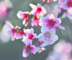blossoms, pink, and primavera image